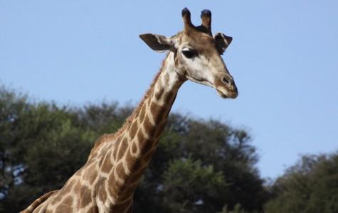 Giraffes break centuries of silence