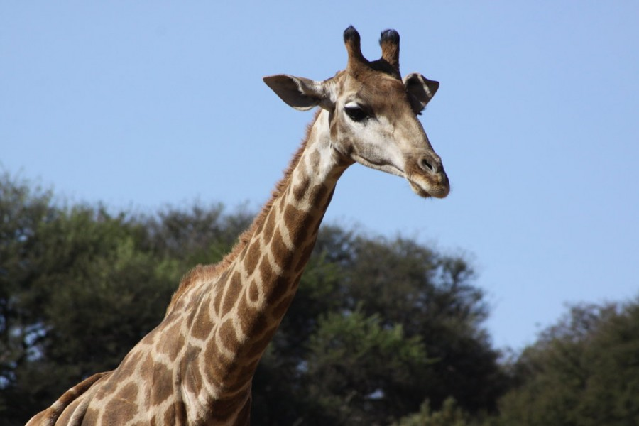 A+giraffe%2C+which+scientists+have+just+recently+discovered+has+the+ability+to+hum