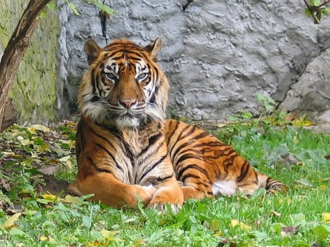New Zealand zookeeper killed by male Sumatran tiger.