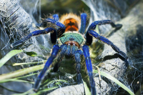 Why You Should Consider a Tarantula as a Pet