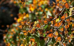 Two Monarch Butterfly Activists Killed and Why It Matters