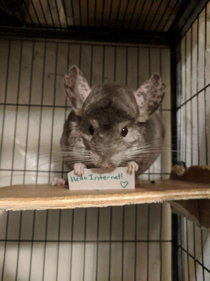 Picture of a chinchilla. Source:  https://www.thedodo.com/close-to-home/chinchillas-hold-motivational-signs