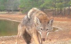Coyote pictured near a residential area in Gwinnett County Georgia Source: https://www.gwinnettdailypost.com/local/georgia-looks-to-curb-coyote-population-with-prizes/article_ce25920c-f546-5f83-af37-d8cb28df2c03.html