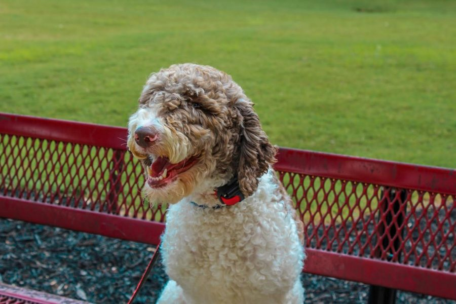 Lambert's faculty is continuing to grow as three new therapy dogs have been added to the family to relieve anxiety and bring joy to the students and teachers!