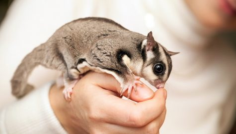 Picture of Sugar Glider Source: https://www.petassure.com/new-newsletters/pocket-pets-what-is-a-sugar-glider/