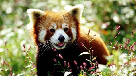Photo of a red panda. Source: https://www.foodandwine.com/news/you-can-help-couple-adorable-red-pandas-threatened-food-shortage