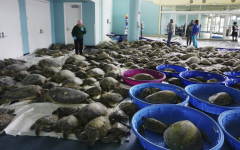 Hundreds of Green Sea Turtles warming up in the South Padre Island Convention Center  Photo by Miguel Roberts, taken on Feb 16, 2021, Some rights reserved, http://bit.ly/1QqnIiW