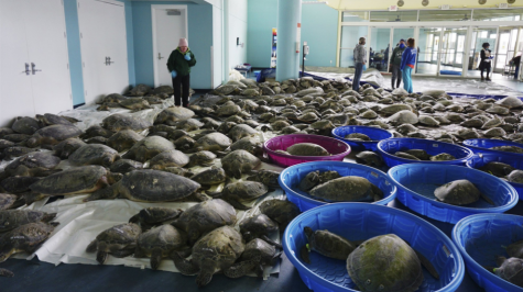 Rescuing Texas Sea Turtles