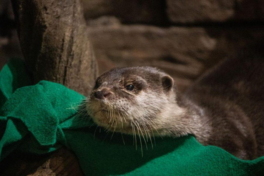 Otters Fall Ill With COVID-19 at the Georgia Aquarium